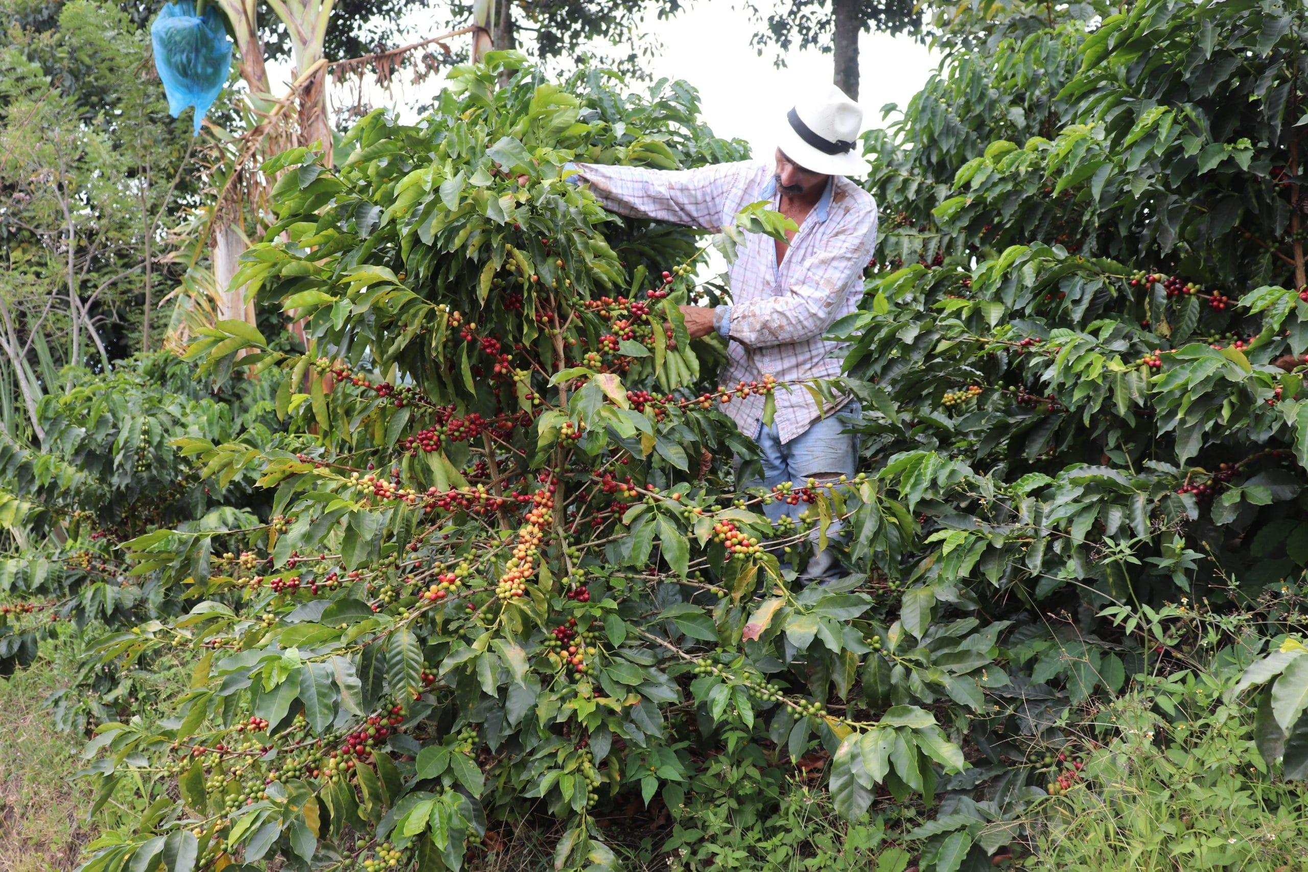 colombian coffee picker