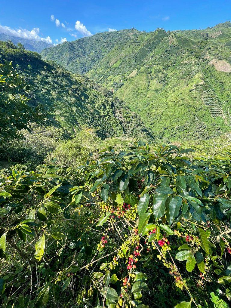 forest coffee farm